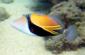 300px-Reef_Triggerfish_1