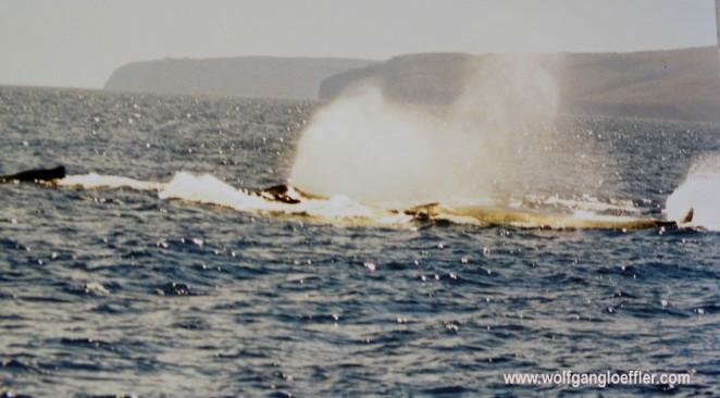 Wale vor Maui