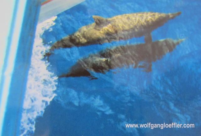 Delphine schwimmen um ein Boot