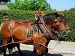 Zwei Pferde mit festlich geschmücktem Geschirr