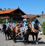 Festlich mit blauem Geschirr geschmückte Pferde