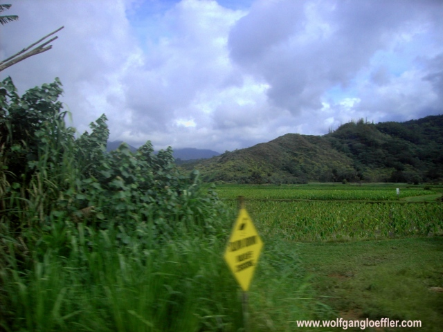 Tarofelder, grüne Äcker vor Bergen im Hintergrund