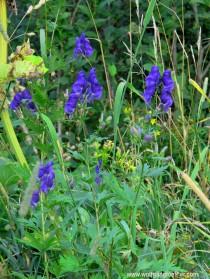 Blauer Rittersporn blüht in einer Wiese