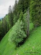 24-Bäume am Steilhang