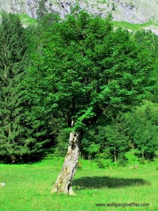 Ahornbaum auf Wiese