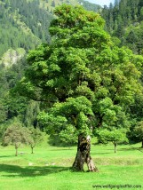 Altr Ahornbaum