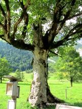 Alter Ahornbaum
