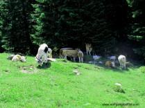 IMG_6438-kühe auf dr alm