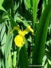 iris gelb