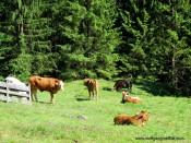 kühe bei der almhütte