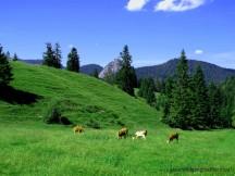 090-kühe auf der alm