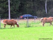 106-pferde auf der weide