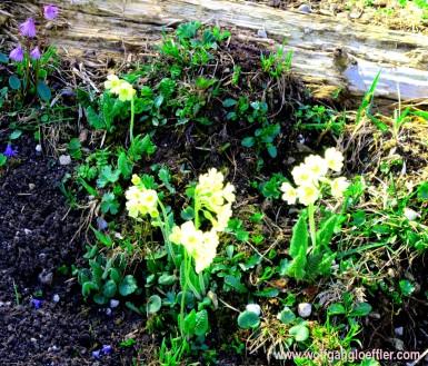 044-schlüsselblumen