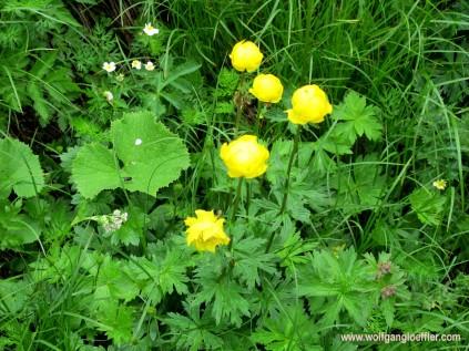 138-butterblumen