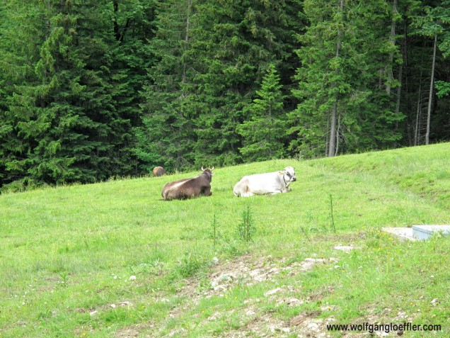 164-kühe auf skipiste