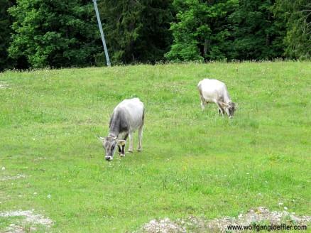 165-kühe auf skipiste