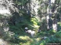 Schafe im Wald