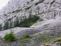 Schaf an der Seebener Alm