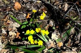 016-butterblumen