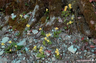 Schlüselblumen