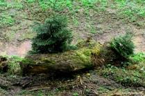 097-bäume wachsen aus alem stamm