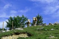 035-kühe auf der weide