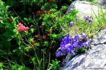 Alpenrose und Glockenblumen