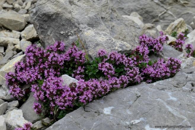 048-rosa blumen zwischen Felsen