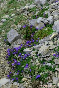 084-glockenblumen im geröll