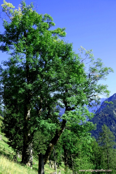 093-ahornbaum